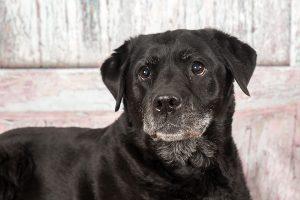 honden fotograaf Limburg | kleine honden | grote honden | labrador | fotoshoot met hond