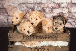 honden fotograaf Limburg | kleine honden | grote honden | lakeland terriër | foto van hond