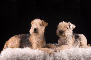 Honden fotograaf Limburg | kleine honden | grote honden | Lakeland Terriërs | foto van hond