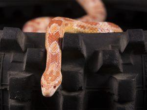 Dieren fotograaf Limburg | reptielen | slang | alle dieren